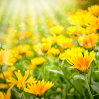Heritage Cremation Society Obituaries Image with Orange Daisies